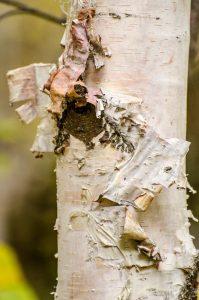 birch-tree-1109901_1920